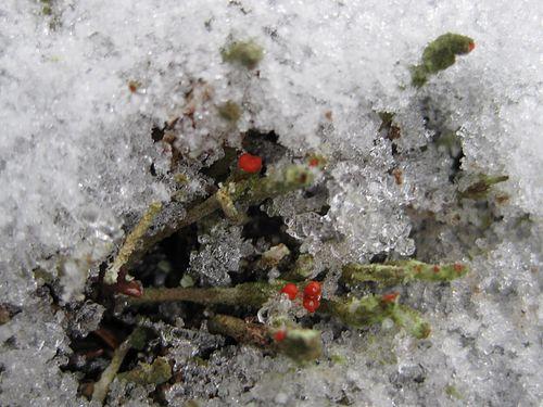 Decolog lichens red2