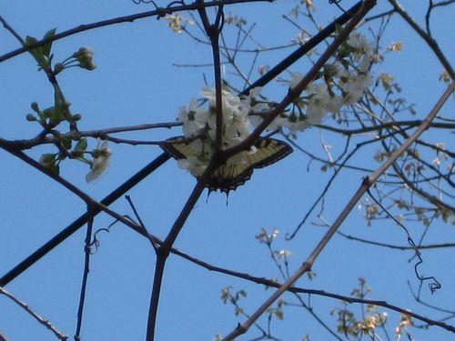 YeloTgST in cherry tree2