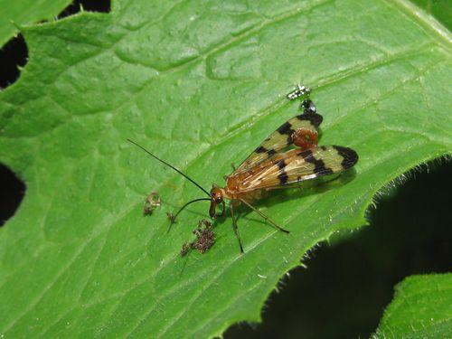 Scorpion fly (1)