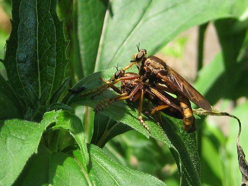 Mating wasps_ED