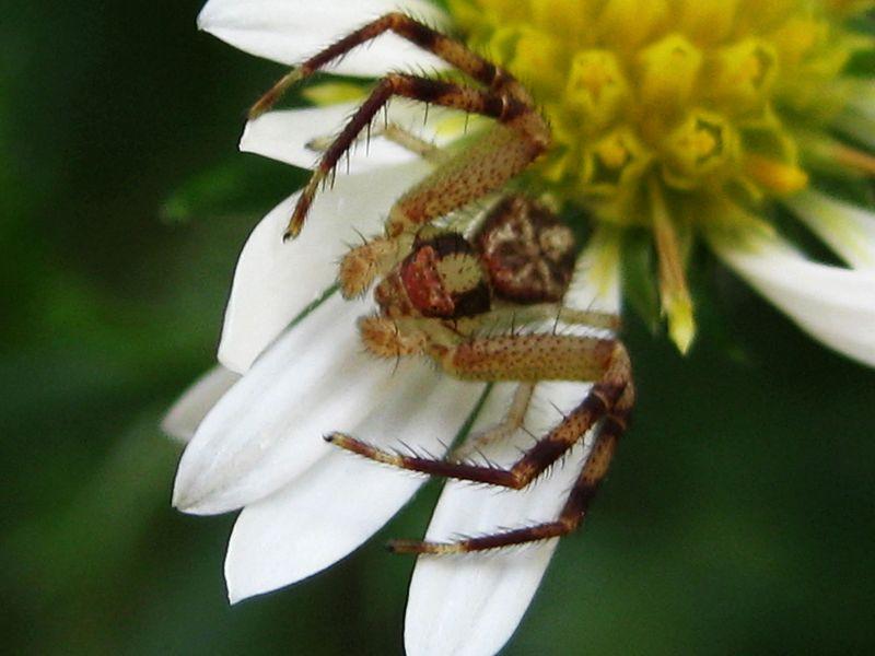 Crab-spiderOnAster_28Sep10 (2)ED