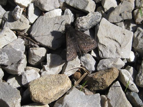 Duskywing at spring