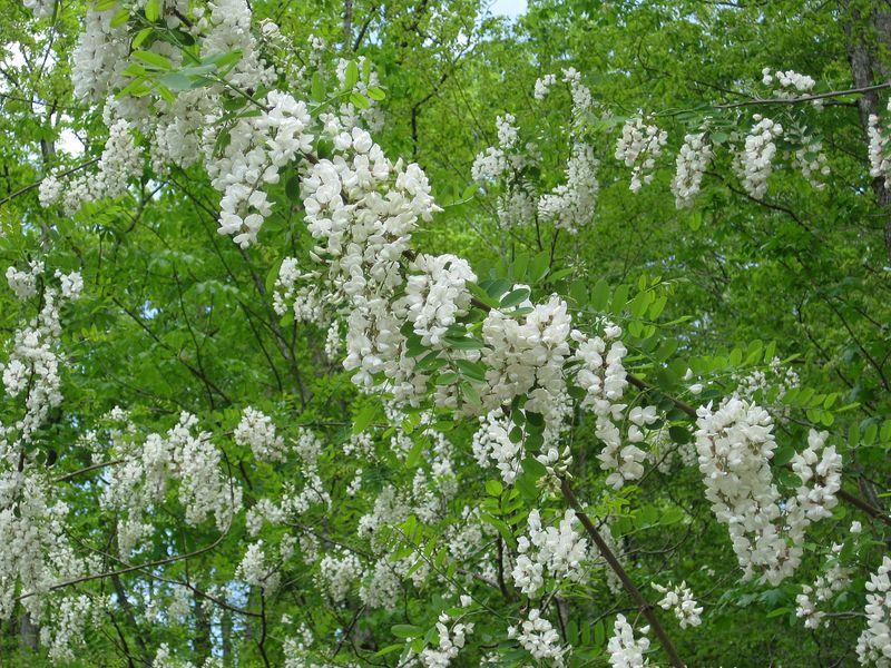 Robinia pseudoacacia (1)a