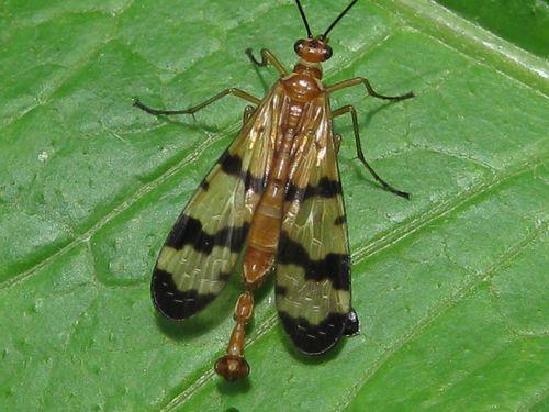 Scorpion fly (3)