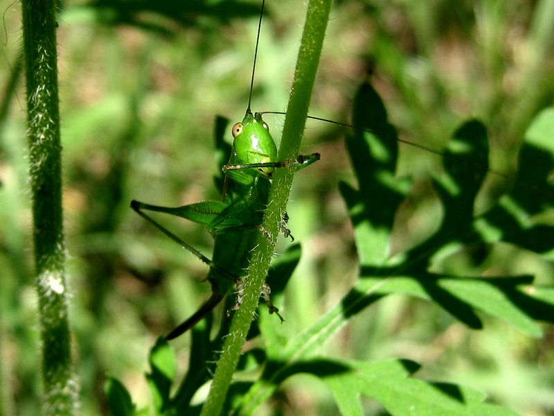 GreenGrassHopper_27Aug10 (4)ED