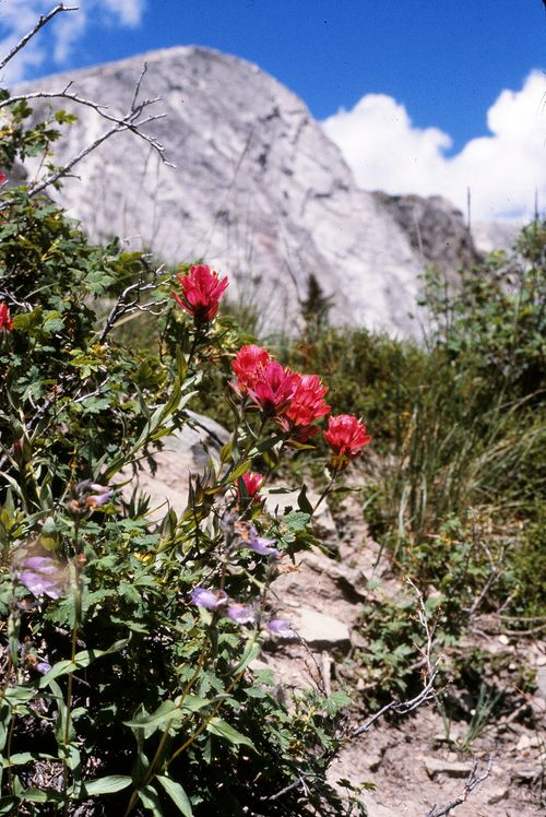 Indian Paintbrush in Snowy Range WY_ED