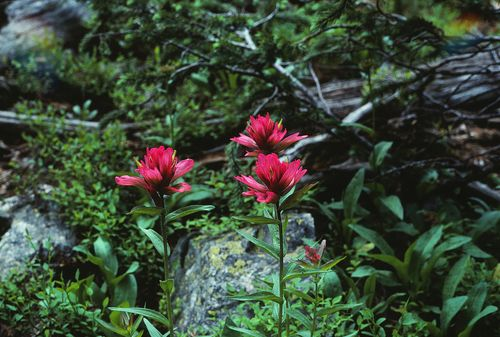 Indian Paintbrush pink-ED