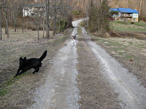 Shadow herding Celie while George looks on_23Jan11ed