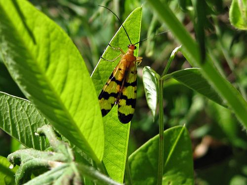 Scorpion fly_5May11 (4)ed