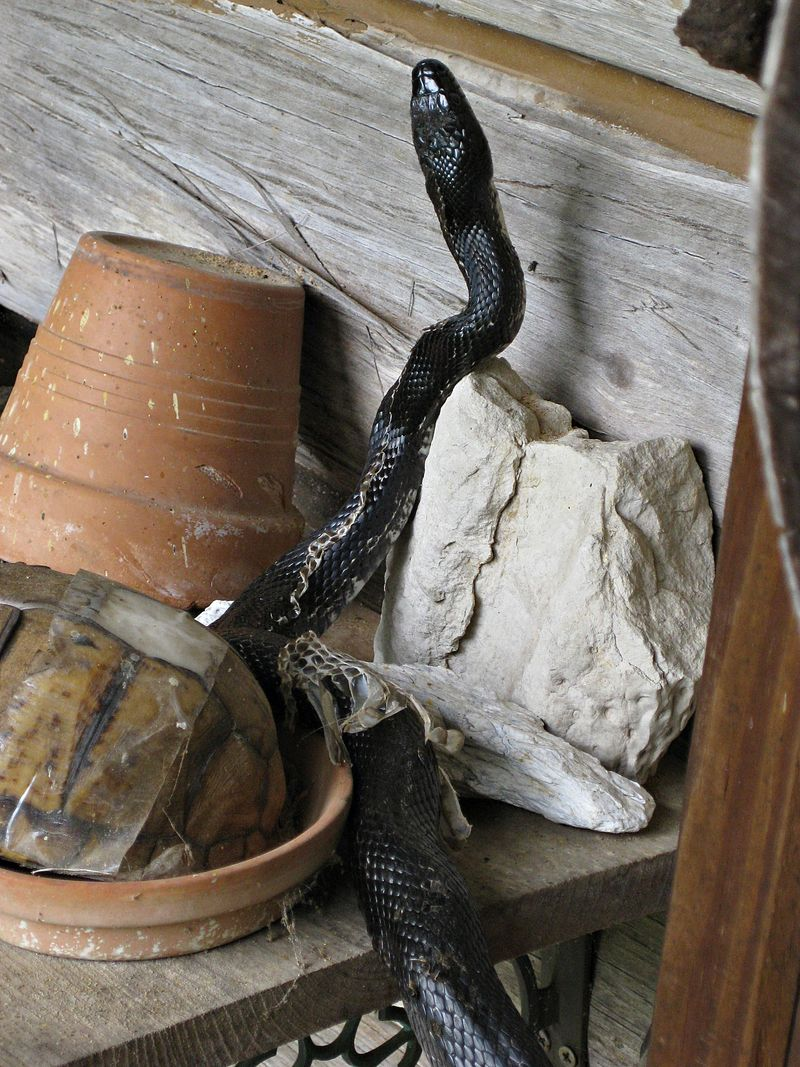 Rat Snake shedding_7May11 (8)ed
