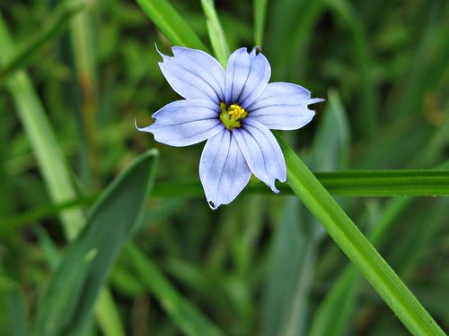 Blue-eyed grass_20May11ed