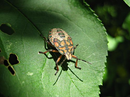 StinkBug nymphQ_28May11ed