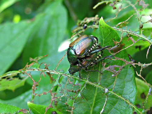 Popillia japonica - Japanese Beetle_24Jun11ed (1)