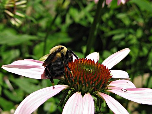 Bumblebees_29Jun11 (2)ed