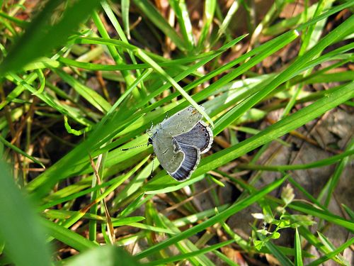 Eastern tailed blue_22April11 (2)ed