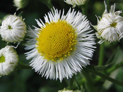 Daisy fleabane (1)