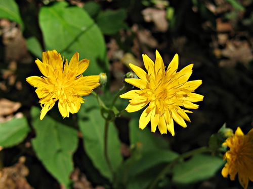 Hawkweed_6May11ed