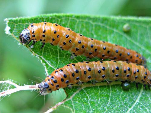 Dogbane Saucrobotys Moth caterpillars (4)ed
