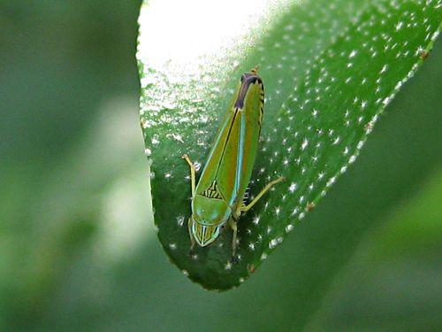 Graphocephala versuta_12Sep11 (4)ed