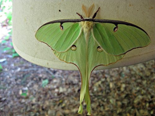Luna moth_22May11 (1)ed