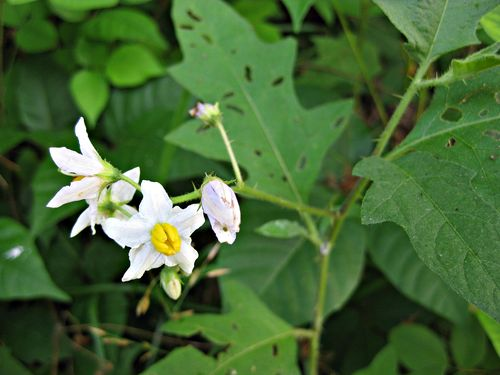 Solanum carolinense L_9Jun11 (2)ed