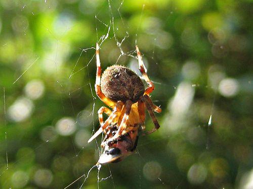 Spider eats horsefly_25Jun11 (3)ed