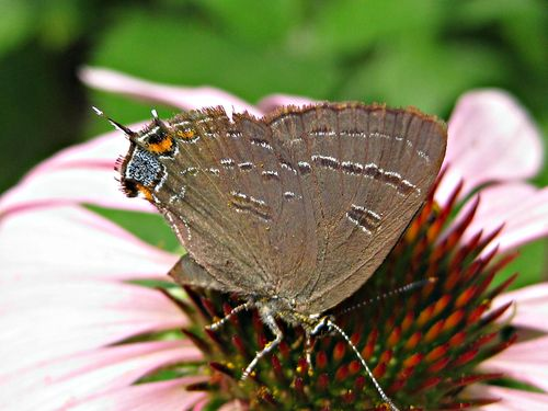 Banded hairstreak_20Jun11_ed (5)