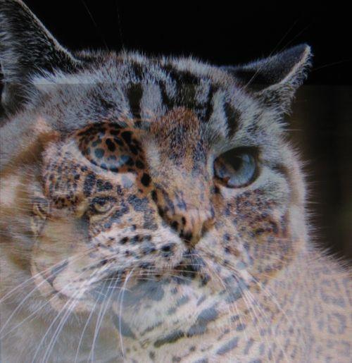 Buddy-lynx-jag (4)