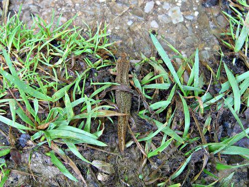 Gyrinophilus porphyriticus_spring salamander_7May12 (4)ed
