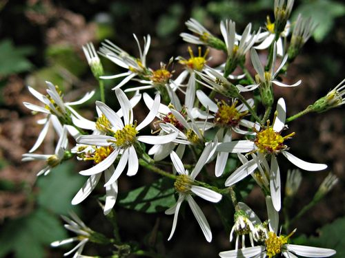 White Wood Aster_9Sep12 (5)ed