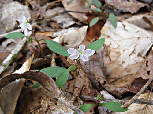 Claytonia caroliniana1_1Apr13e