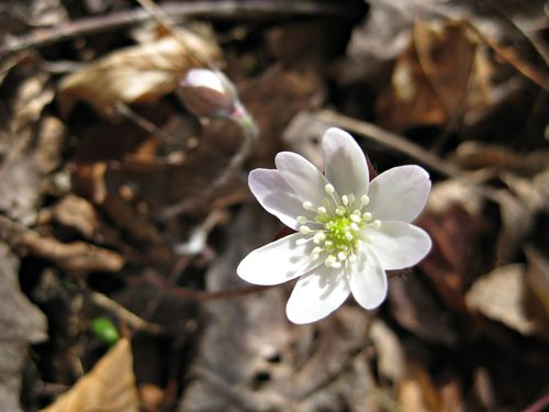 HepaticaQ_1Apr13e