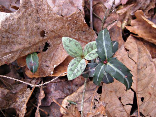Trillium and wintergreen_30Mar13e
