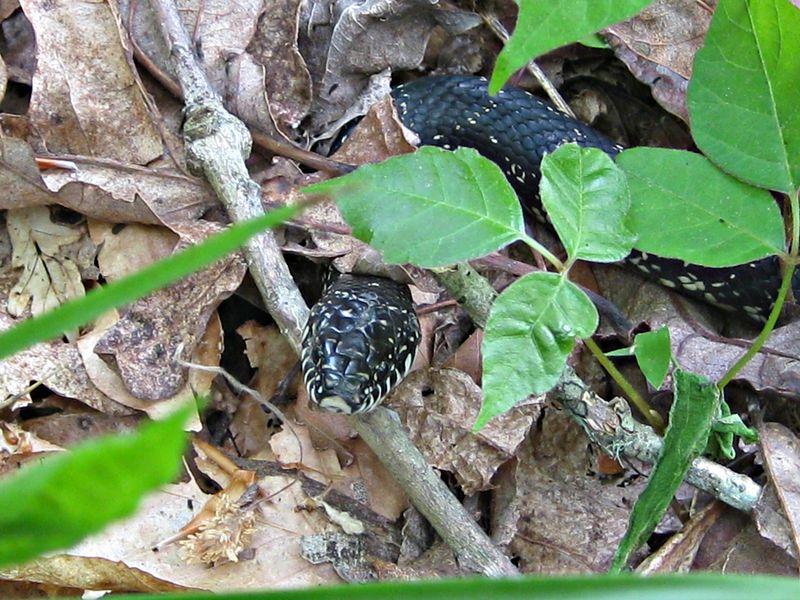 Elaphe obsoleta_black rat snake_9May13 (4)