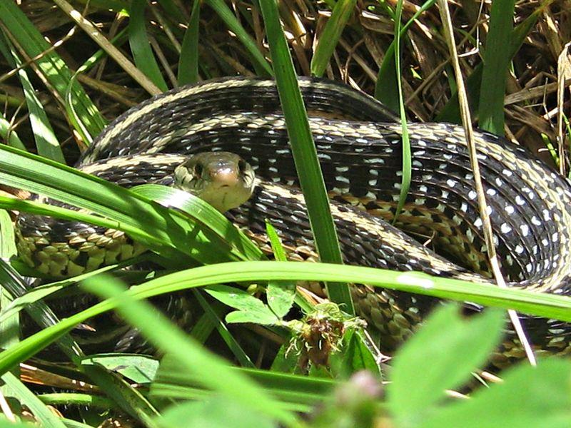 Thamnophus sirtalis_garter snake_8Jul13 (16)e