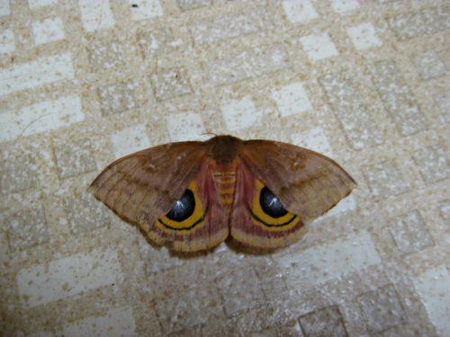 Io moth - Automeris io_11Jul13 (1)e