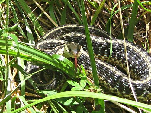 Thamnophus sirtalis_garter snake_8Jul13 (8)e