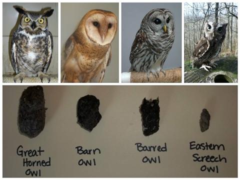 Owl pelletology480