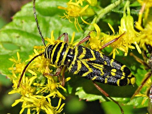 Locust Borer - Megacyllene robiniae_13Sep11 (9)ed1000