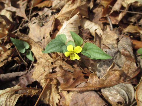 Viola hastata_21Mar14 (6)