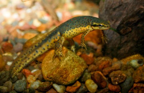 Redspotted_newt adult