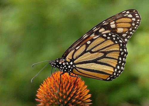 800px-Monarch_Butterfly_Danaus_plexippus_on_Echinacea_purpurea_2800px