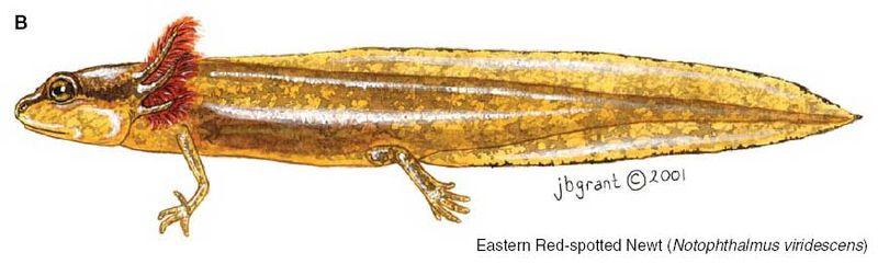 Circ1258_plates_17b e-newt larval