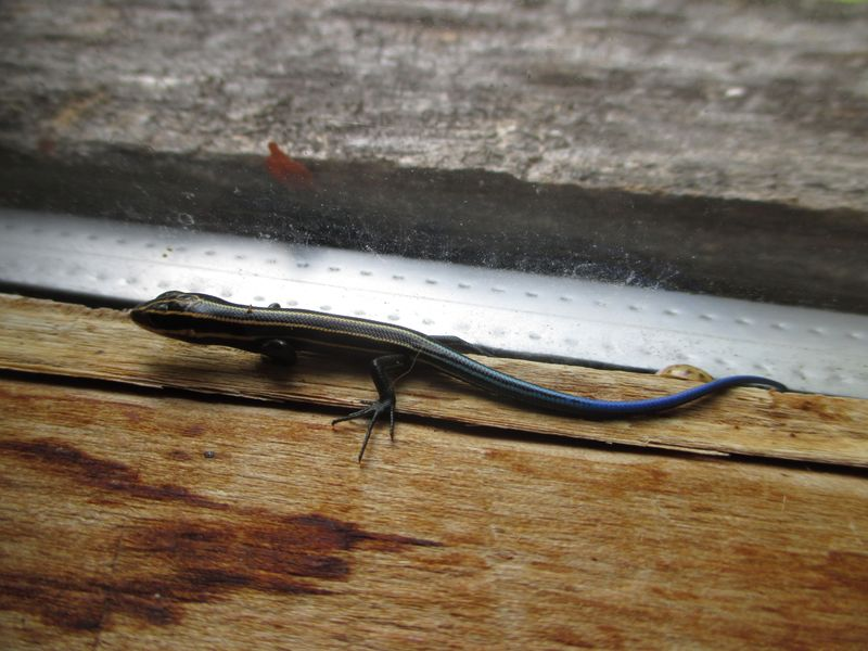 Young skink_22Aug14 (3)