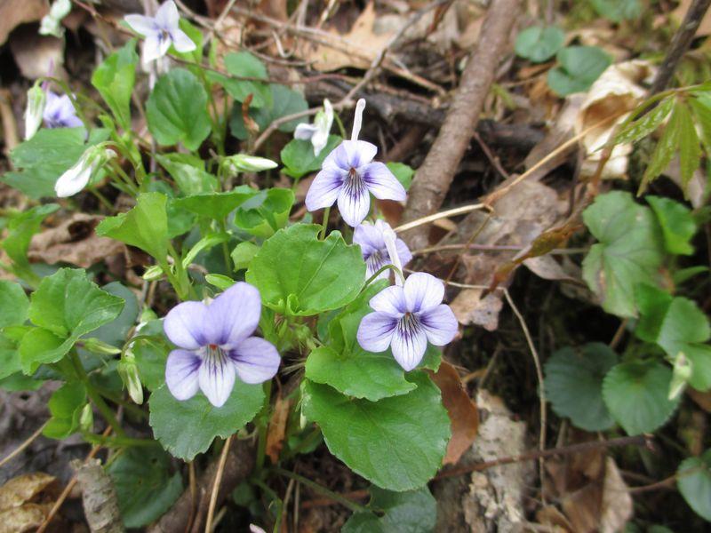 Longspur violet_18Apr14_ (2)
