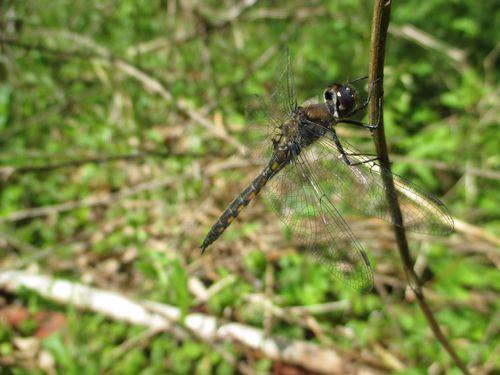 Epitheca costalis_25Apr15 (3)