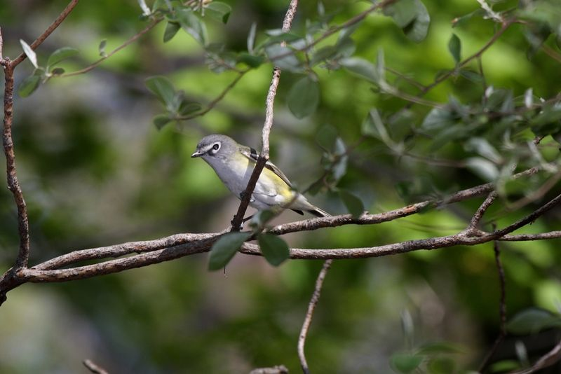 Blue-headed_Vireo_1000