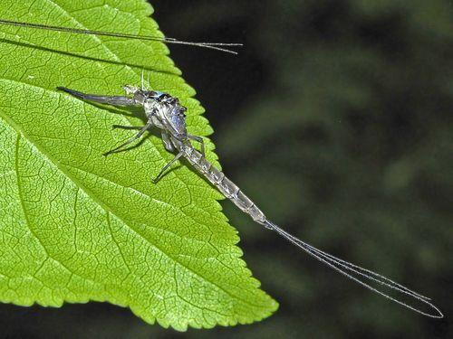 Ephemeridae_-_Ephemera_danica-002