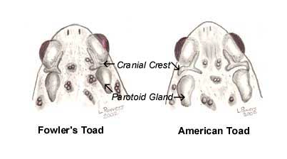Fowler or American toad differentiation