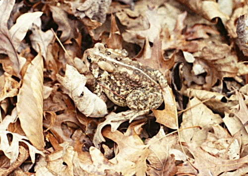 American toad_14Feb10-crop